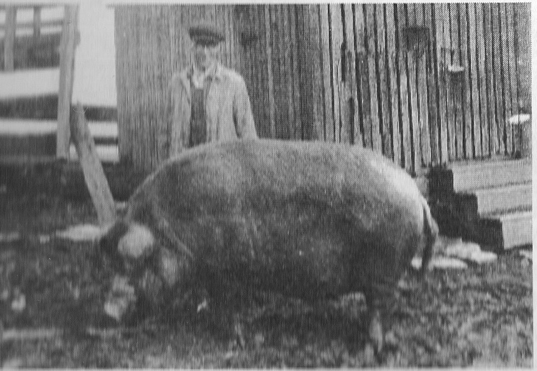 Earl Korns with his large red hog
